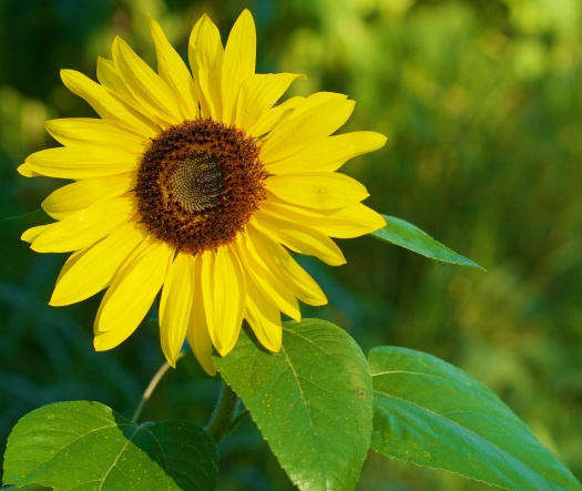 Sunflowers, so very yellow and happy looking holding on to the last days of summer.