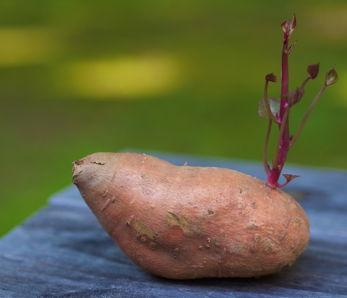 A forgotten sweet potato left to its own devices proves to be a fun photo.