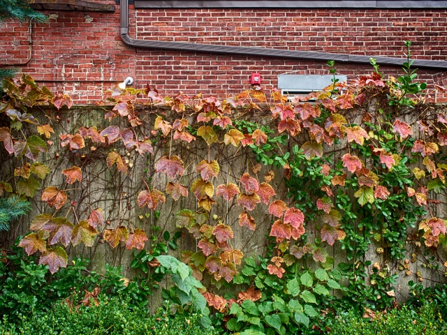 I love how the colorful vines climb up this old brick wall. It's such a natural design.