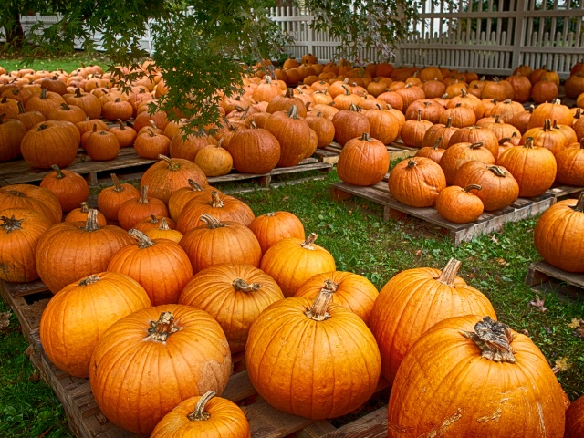 It's all about pumpkins here in New England.