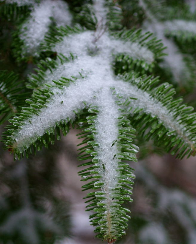 Evening rain turned to sleet and snow and by morning everything was covered in ice. As I looked around my frozen world I noticed a snow angel hiding among the pine boughs.