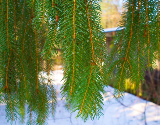 Looking close, I saw drops of water on the ends of the pine needles.